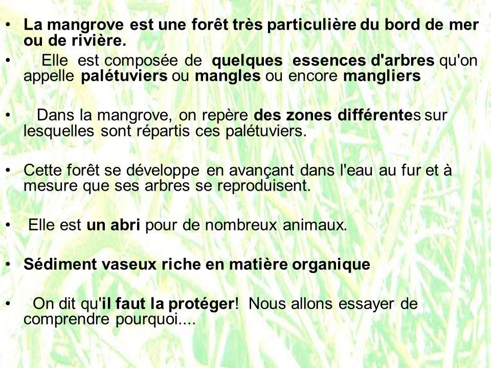 La mangrove est une forêt très particulière du bord de mer ou de rivière. Elle est composée de quelques essences d'arbres qu'on appelle palétuviers ou