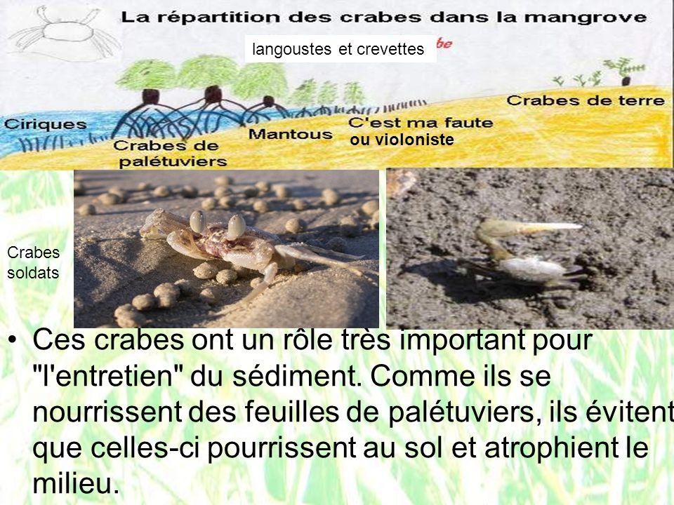 ou violoniste langoustes et crevettes Ces crabes ont un rôle très important pour