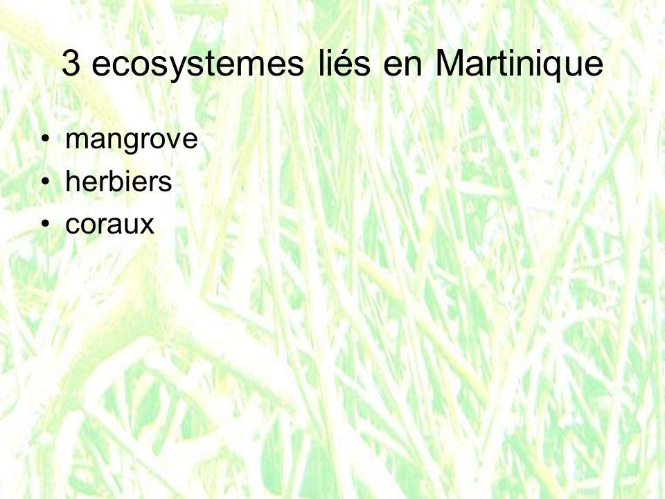 Jeune barraccuda ac-martinique.fr