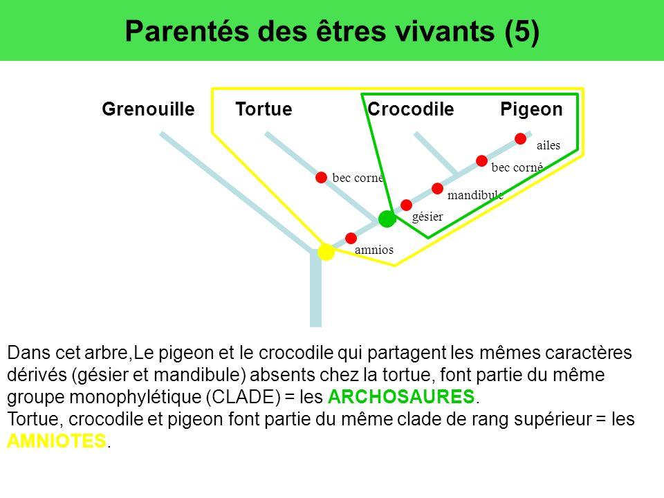 Parentés des êtres vivants (5) Dans cet arbre,Le pigeon et le crocodile qui partagent les mêmes caractères dérivés (gésier et mandibule) absents chez