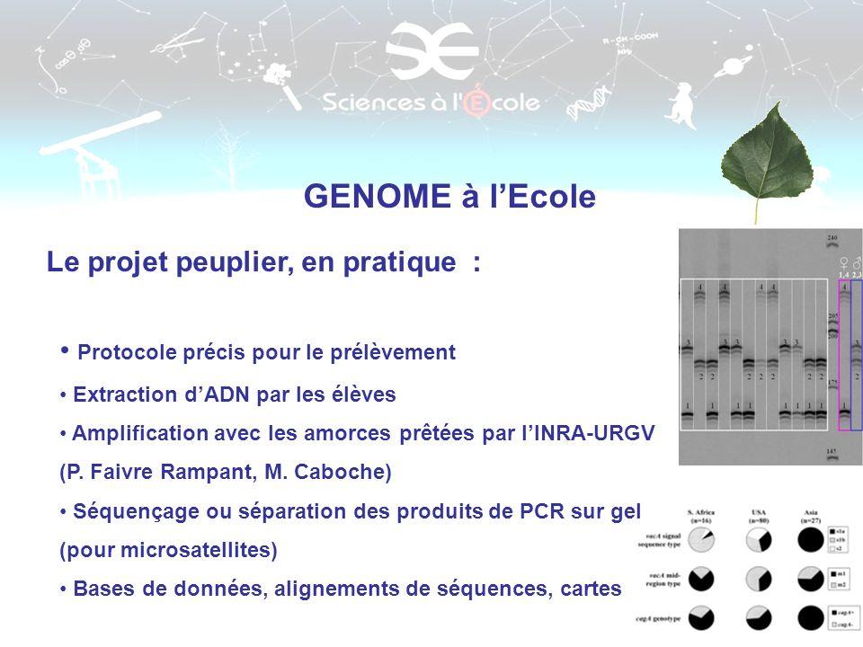 Marqueurs GENOME à lEcole Le projet peuplier, en pratique : Protocole précis pour le prélèvement Extraction dADN par les élèves Amplification avec les