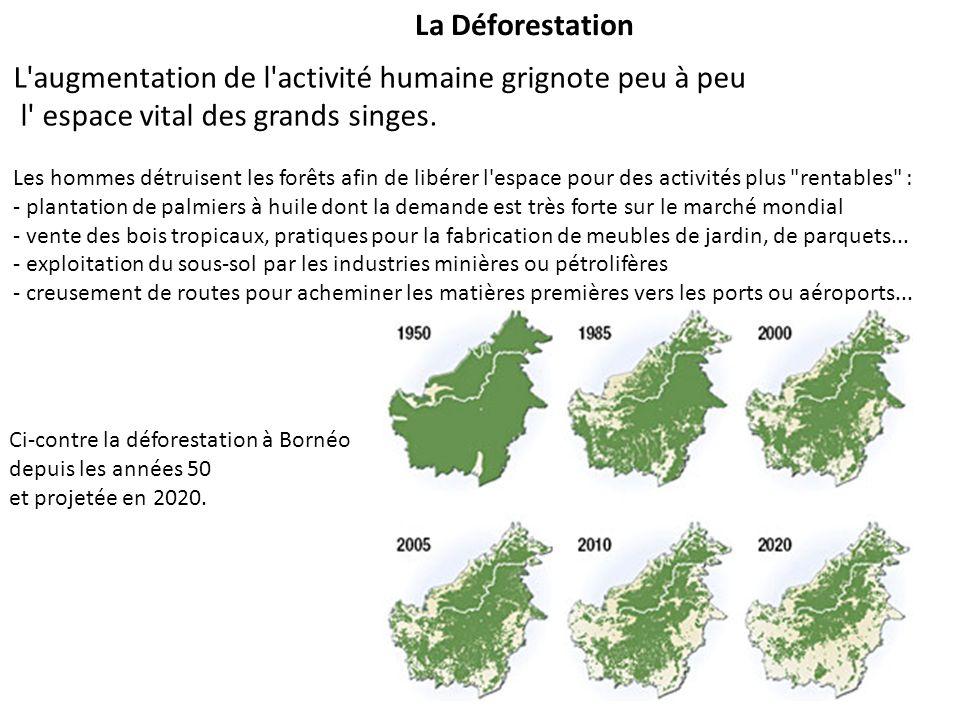 La Déforestation L'augmentation de l'activité humaine grignote peu à peu l' espace vital des grands singes. Les hommes détruisent les forêts afin de l