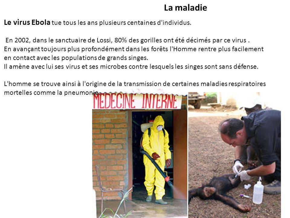La maladie Le virus Ebola tue tous les ans plusieurs centaines d'individus. En 2002, dans le sanctuaire de Lossi, 80% des gorilles ont été décimés par