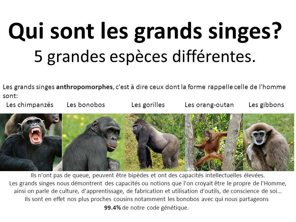 Qui sont les grands singes? 5 grandes espèces différentes. Les grands singes anthropomorphes, c'est à dire ceux dont la forme rappelle celle de l'homm