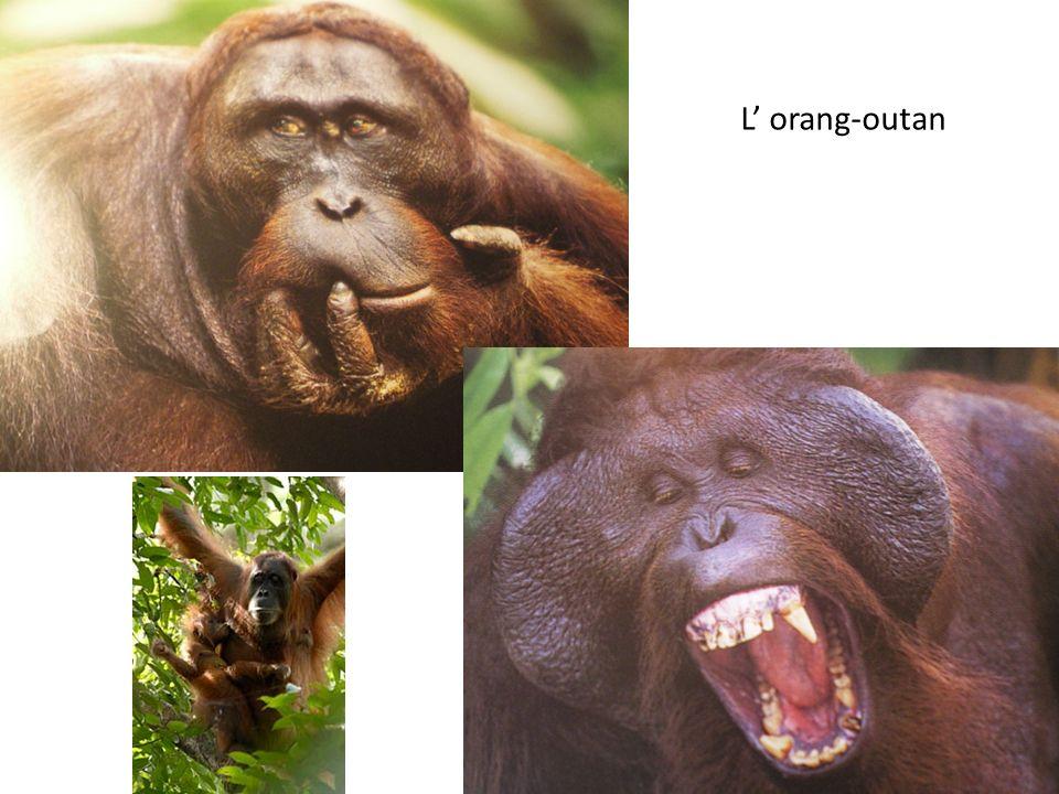 L orang-outan