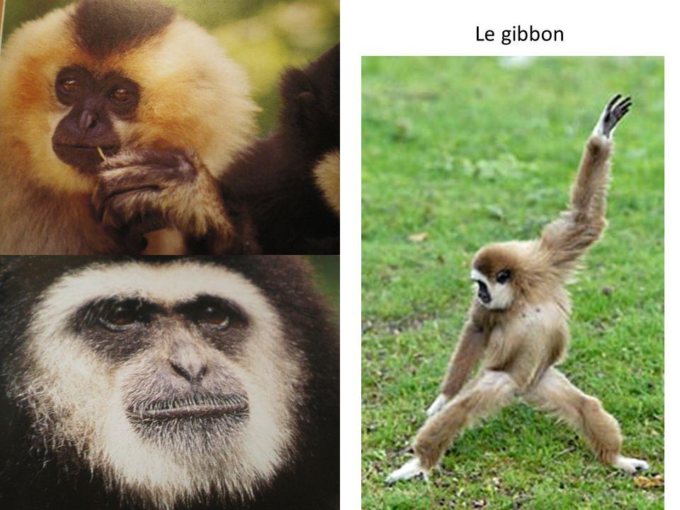 Où trouve-t-on encore des grands singes dans le monde .