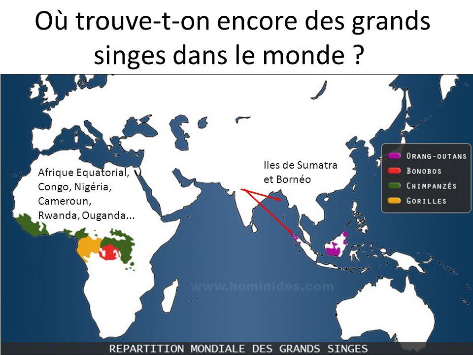 Où trouve-t-on encore des grands singes dans le monde ? Iles de Sumatra et Bornéo Afrique Equatorial, Congo, Nigéria, Cameroun, Rwanda, Ouganda...