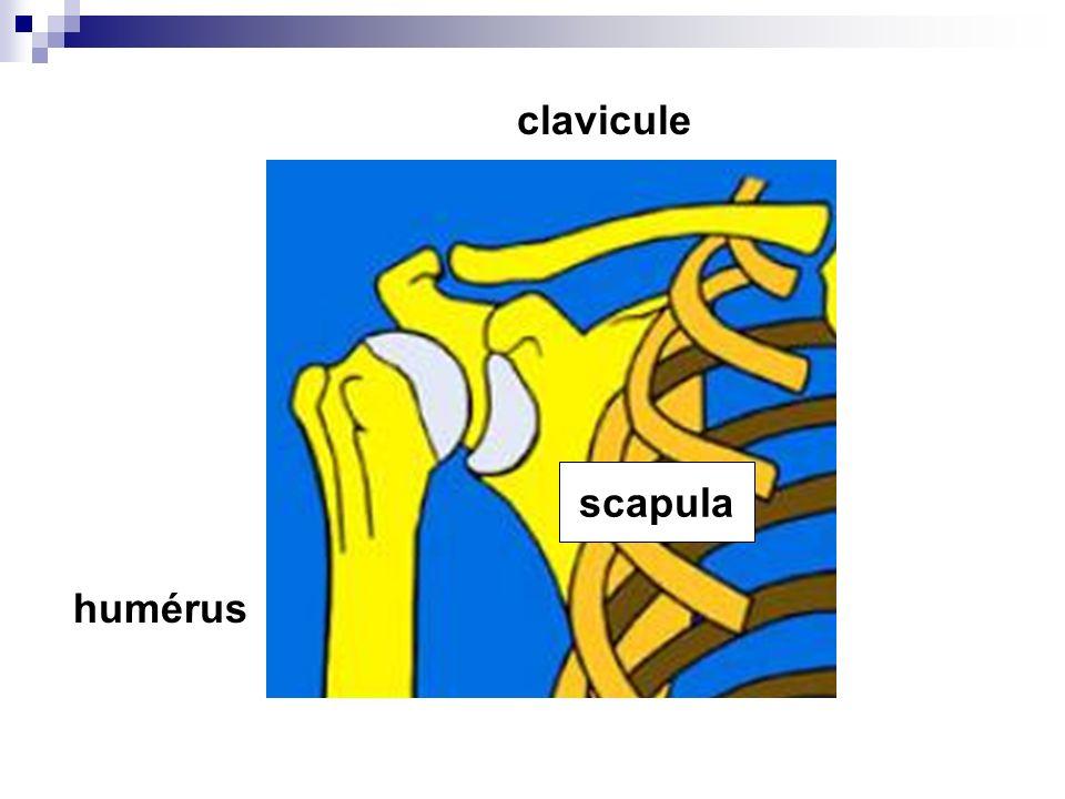 Lépaule simplifiée : 3 os 3 articulations 1 appareil capsulo-ligamentaire 5 tendons 1 muscle 2 bourses séreuses