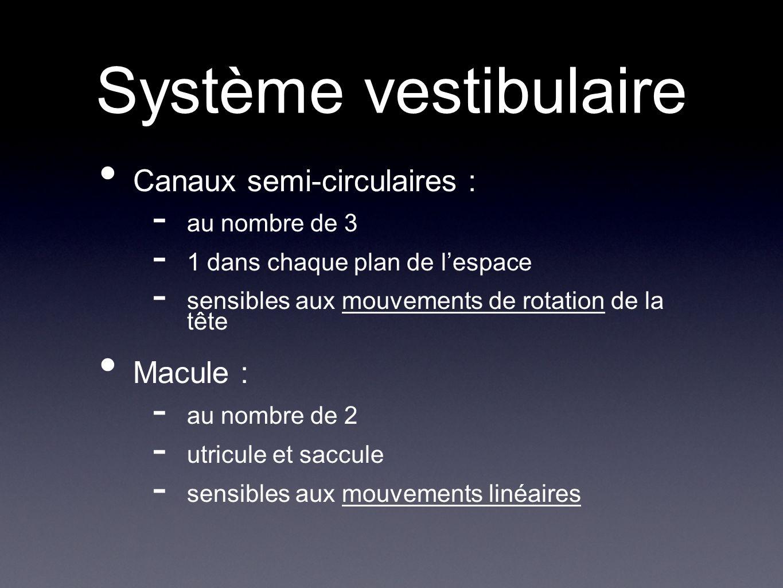 Système vestibulaire Canaux semi-circulaires : - au nombre de 3 - 1 dans chaque plan de lespace - sensibles aux mouvements de rotation de la tête Macu