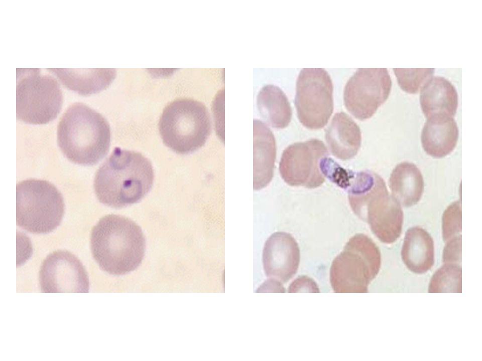 Parasite Helminthes Taenia : agent du « ver solitaire »