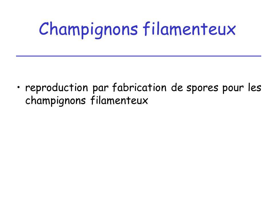 Champignons filamenteux reproduction par fabrication de spores pour les champignons filamenteux