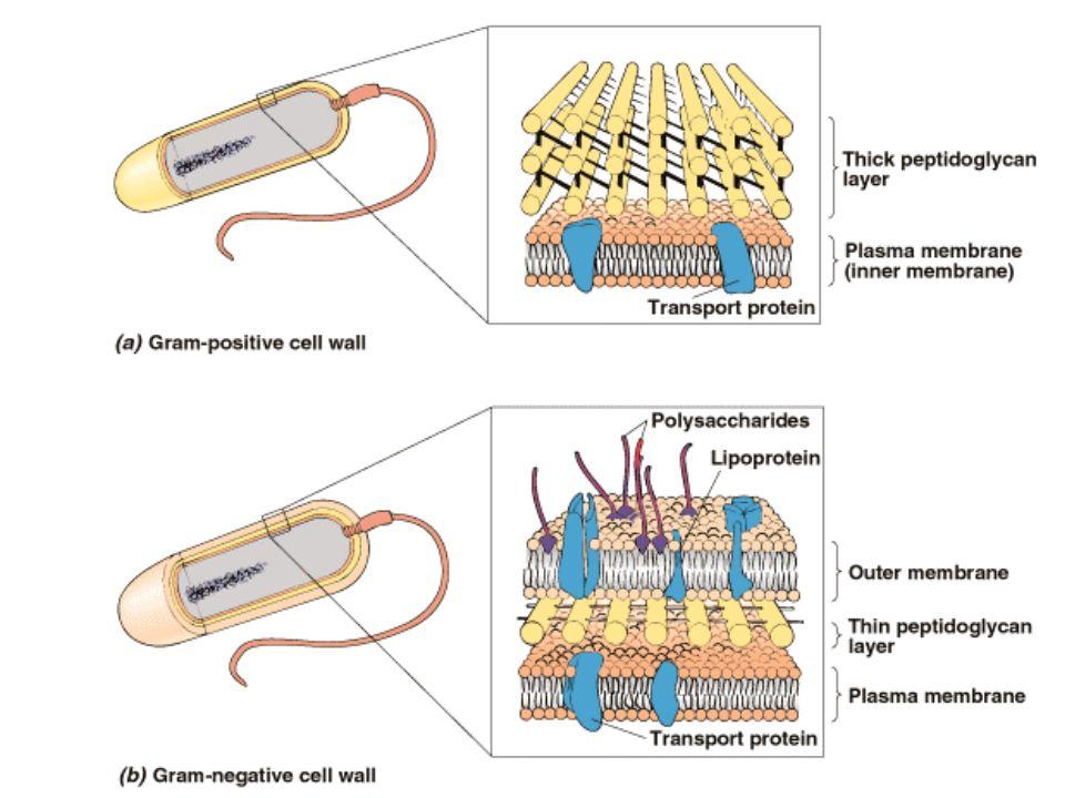 Bactéries à Gram négatif : –Cocci : Neisseria meningitidis –Bacilles : Entérobactéries : Escherichia coli Bacille pyocyanique ou Pseudomonas aeruginosa Bactéries à Gram négatif (2)