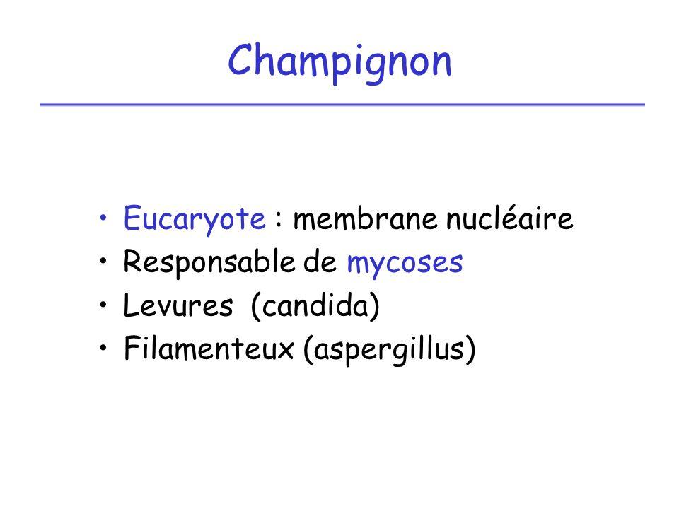 Champignon Eucaryote : membrane nucléaire Responsable de mycoses Levures (candida) Filamenteux (aspergillus)