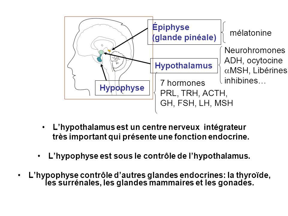 Lhypothalamus est un centre nerveux intégrateur très important qui présente une fonction endocrine. Lhypophyse est sous le contrôle de lhypothalamus.