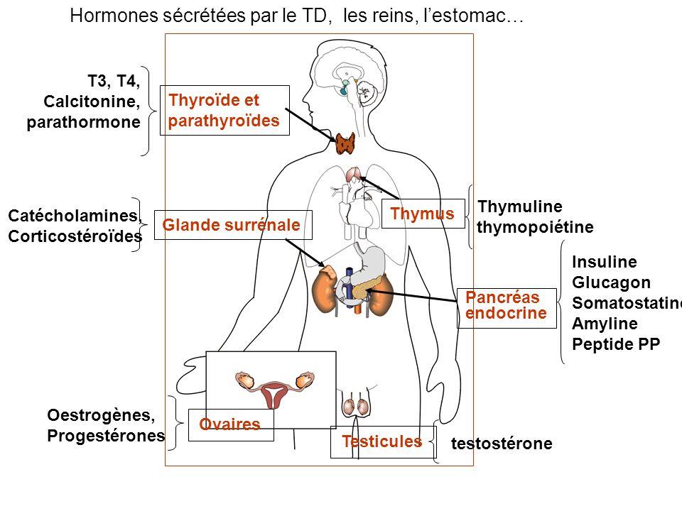 Hormones sécrétées par le TD, les reins, lestomac… Pancréas endocrine Insuline Glucagon Somatostatine Amyline Peptide PP Thyroïde et parathyroïdes T3,