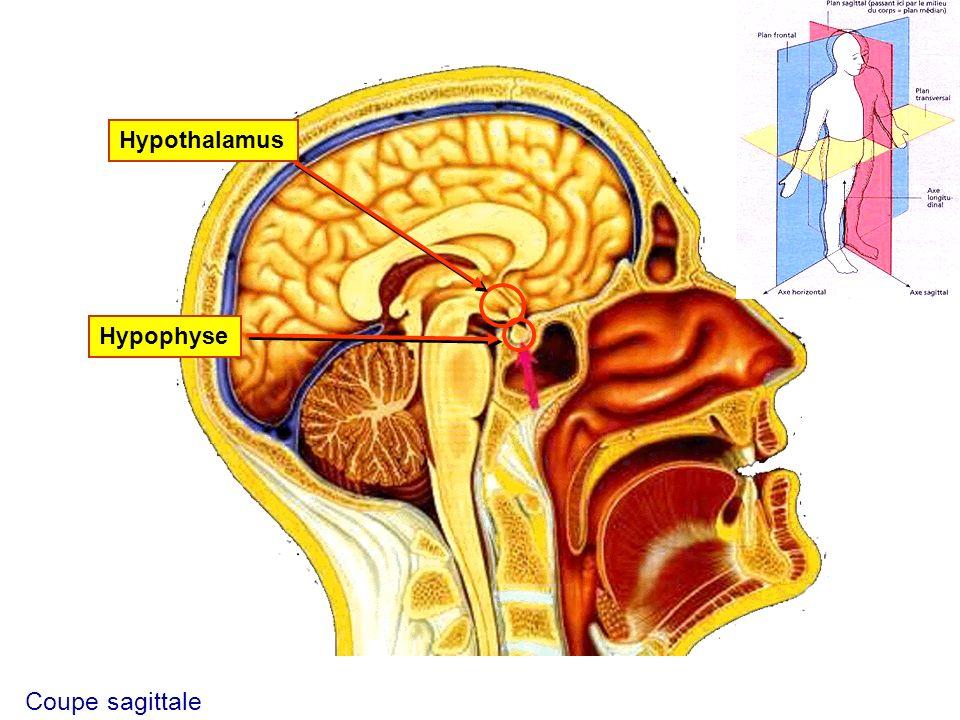 HypothalamusHypophyse Coupe sagittale