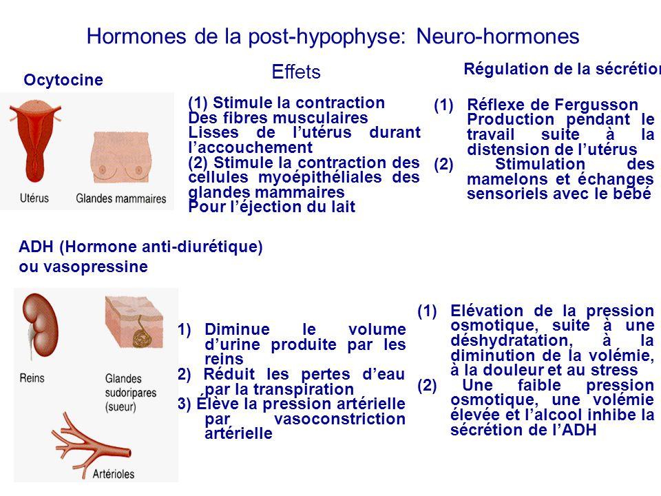 Hormones de la post-hypophyse: Neuro-hormones Ocytocine ADH (Hormone anti-diurétique) ou vasopressine Effets (1) Stimule la contraction Des fibres mus