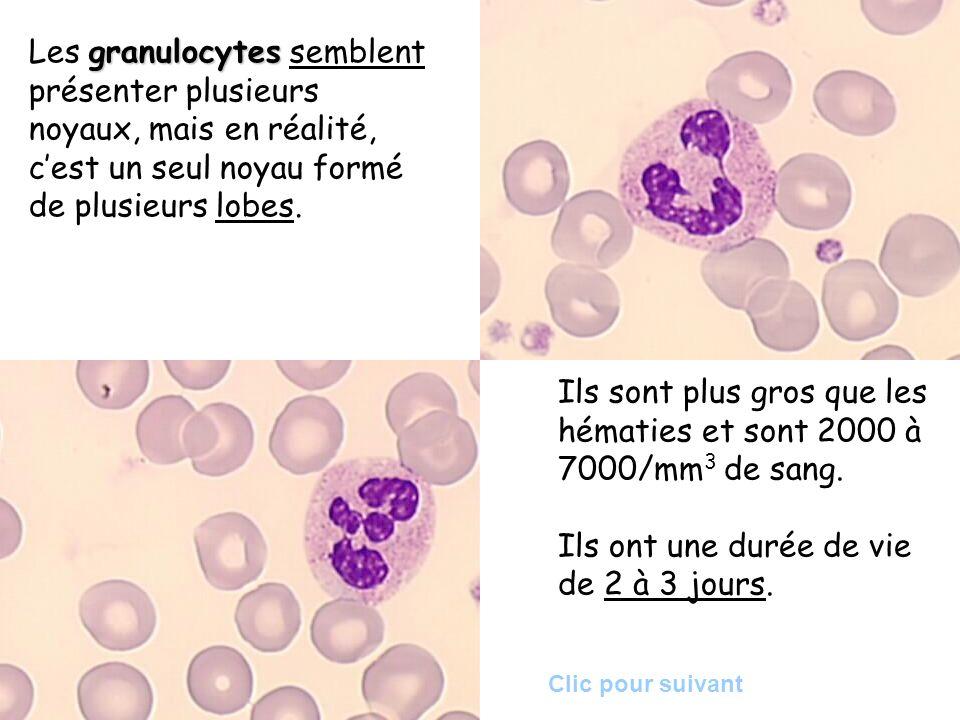 granulocytes Les granulocytes semblent présenter plusieurs noyaux, mais en réalité, cest un seul noyau formé de plusieurs lobes. Ils sont plus gros qu