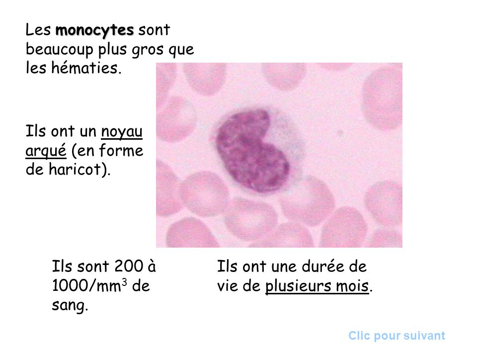 monocytes Les monocytes sont beaucoup plus gros que les hématies. Ils ont un noyau arqué (en forme de haricot). Ils sont 200 à 1000/mm 3 de sang. Ils