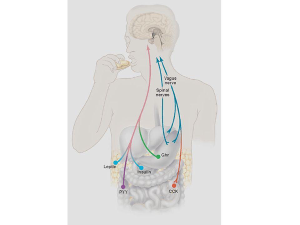 La leptIne : Produite par les adipocytes Agit sur lhypothalamus ( centres de la satiété ) Inhibe la sécrétion du Neuropeptide Y = Puissant stimulant de lappétit.