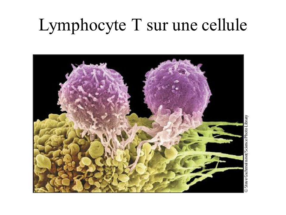 Lymphocyte T sur une cellule