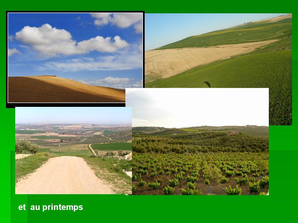 L´olivaire c´est un paysage très fréquent L´olivaire c´est un paysage très fréquent