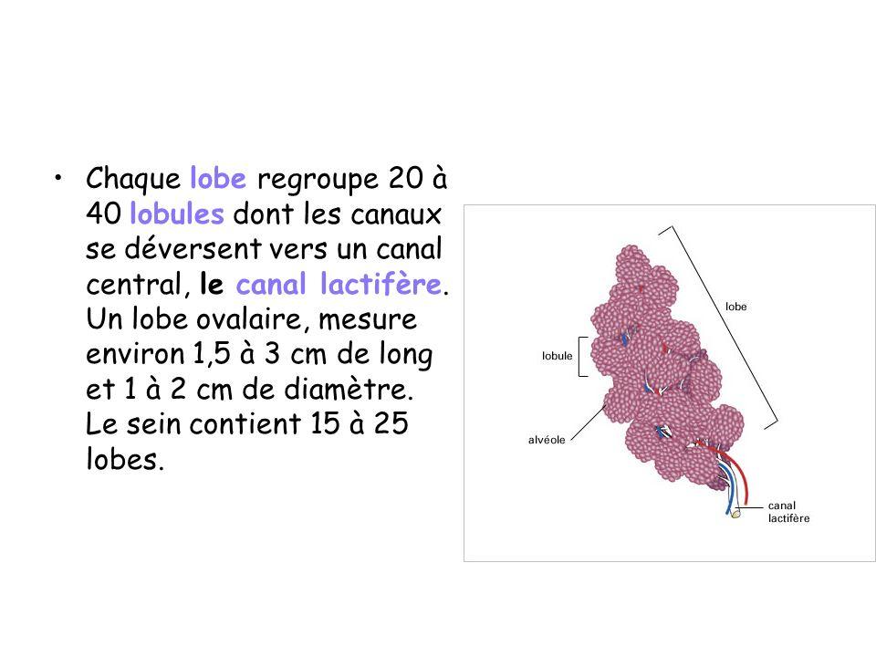 Chaque lobe regroupe 20 à 40 lobules dont les canaux se déversent vers un canal central, le canal lactifère.