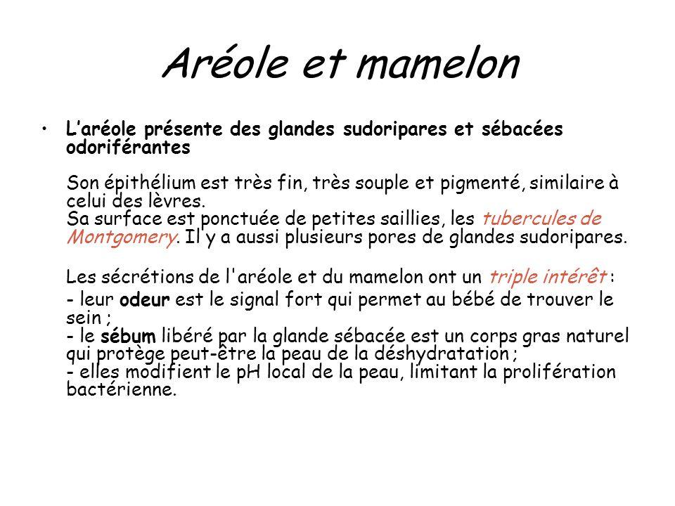 Aréole et mamelon Laréole présente des glandes sudoripares et sébacées odoriférantes Son épithélium est très fin, très souple et pigmenté, similaire à