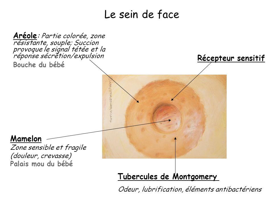 Le sein de face Aréole: Partie colorée, zone résistante, souple; Succion provoque le signal tétée et la réponse sécrétion/expulsion Bouche du bébé Réc
