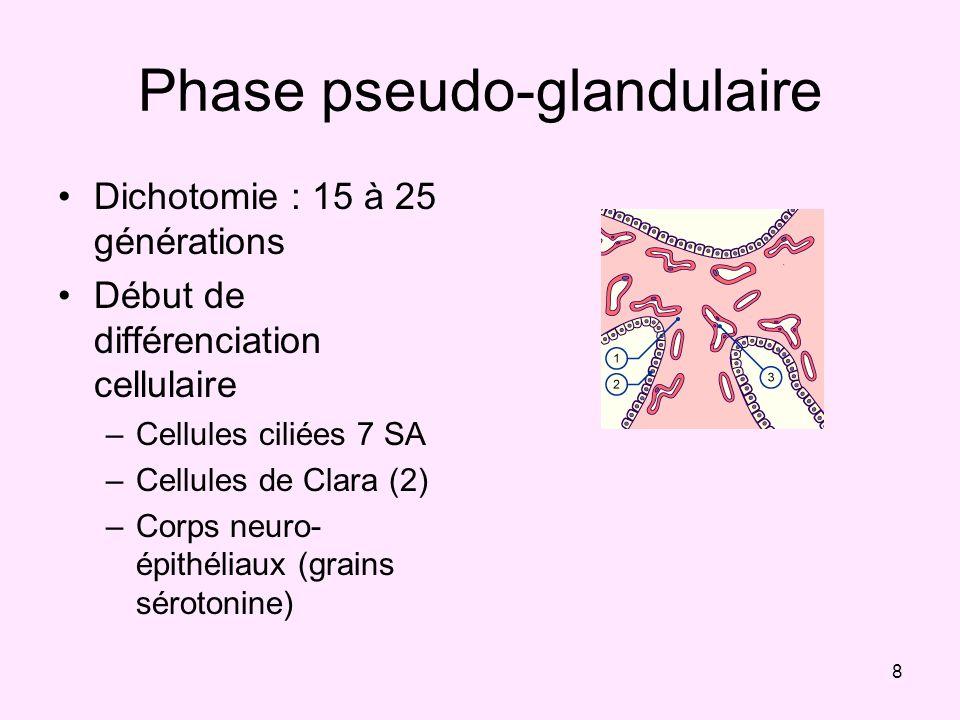 8 Phase pseudo-glandulaire Dichotomie : 15 à 25 générations Début de différenciation cellulaire –Cellules ciliées 7 SA –Cellules de Clara (2) –Corps n