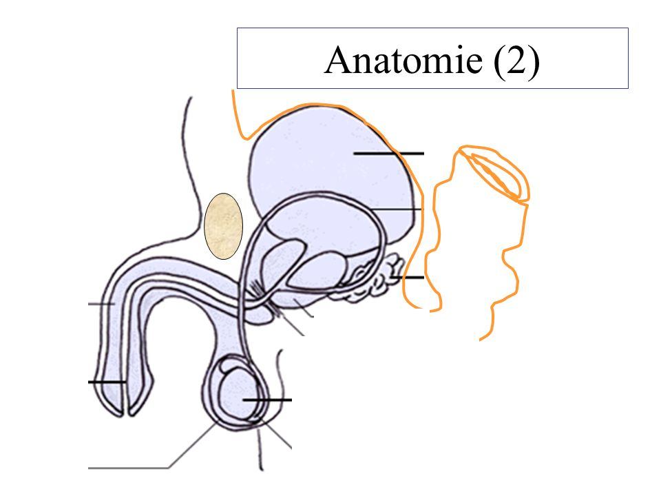 Anatomie (2)