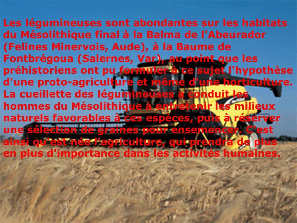 Les légumineuses sont abondantes sur les habitats du Mésolithique final à la Balma de l'Abeurador (Felines Minervois, Aude), à la Baume de Fontbrégoua