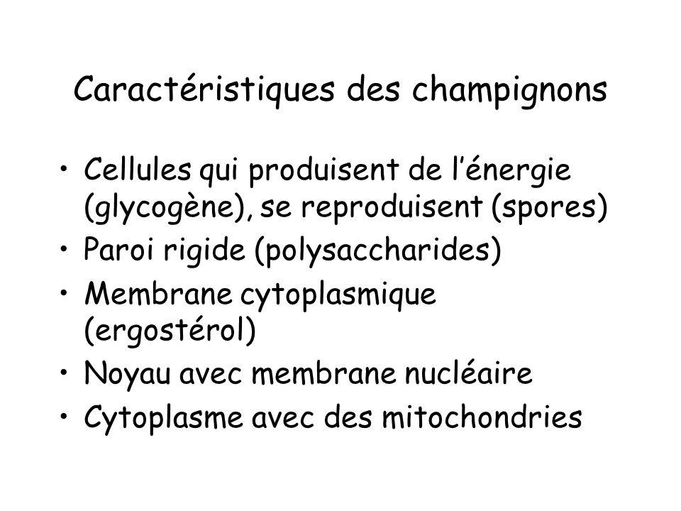 Caractéristiques des champignons Cellules qui produisent de lénergie (glycogène), se reproduisent (spores) Paroi rigide (polysaccharides) Membrane cyt