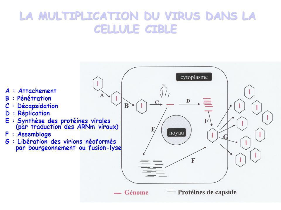 LA MULTIPLICATION DU VIRUS DANS LA CELLULE CIBLE LA MULTIPLICATION DU VIRUS DANS LA CELLULE CIBLE A : Attachement B : Pénétration C : Décapsidation D