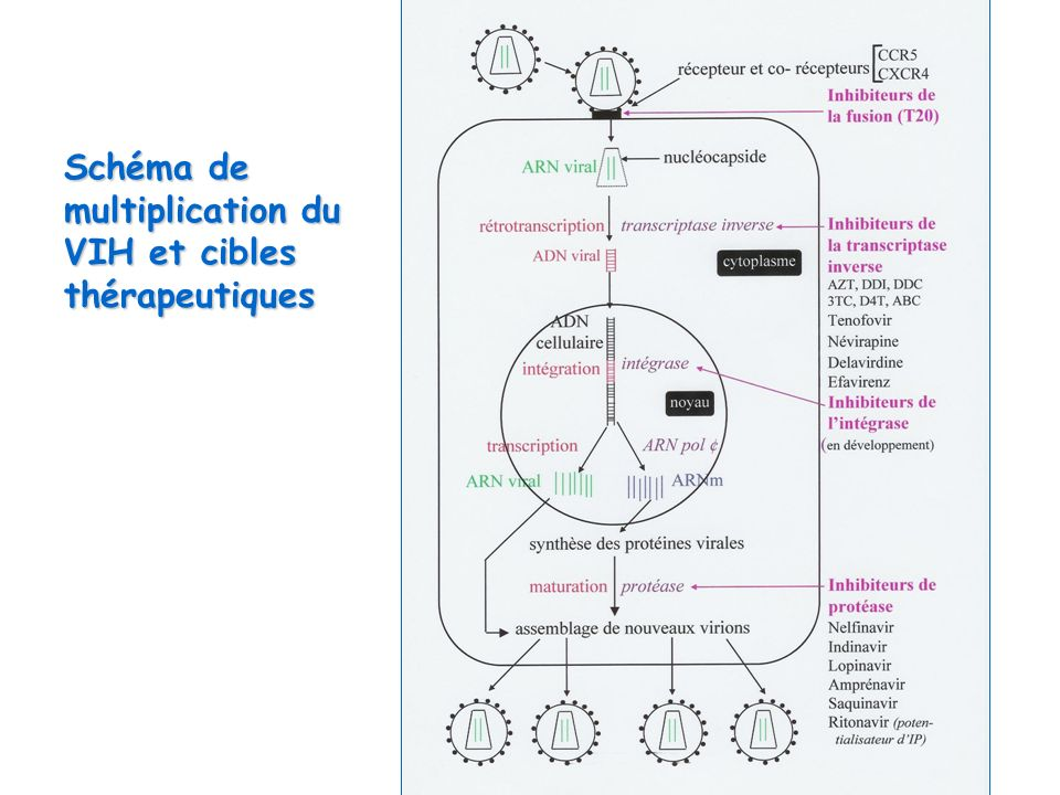 Schéma de multiplication du VIH et cibles thérapeutiques