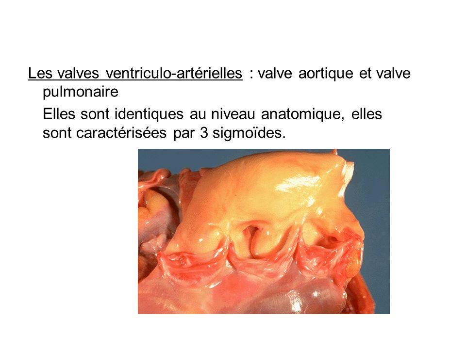 Les valves ventriculo-artérielles : valve aortique et valve pulmonaire Elles sont identiques au niveau anatomique, elles sont caractérisées par 3 sigm