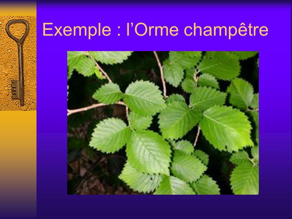 Exemple : lOrme champêtre