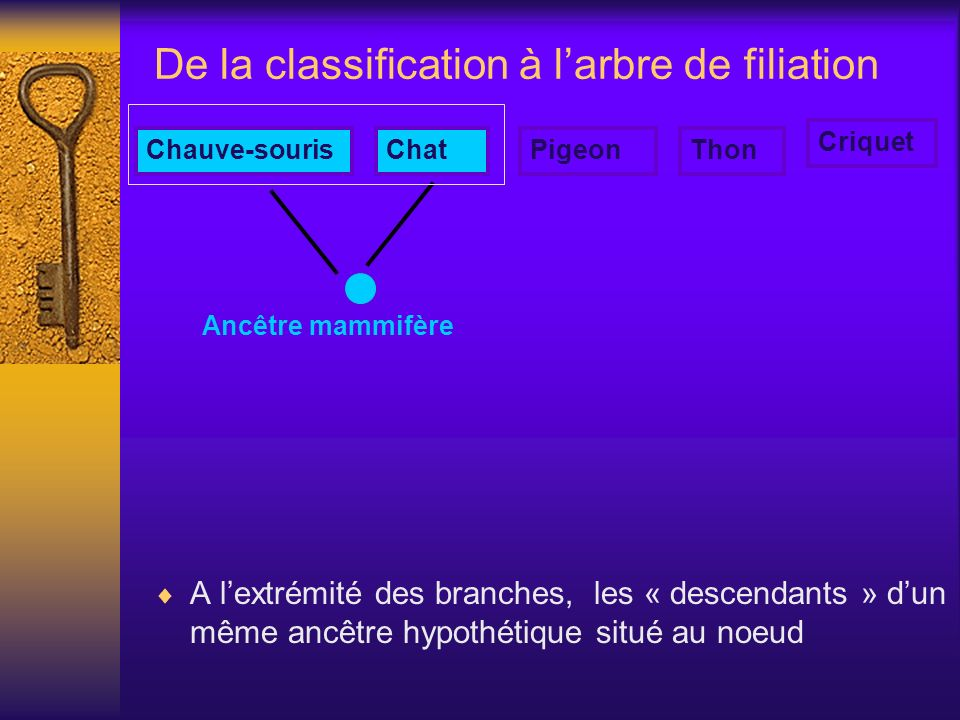 De la classification à larbre de filiation A lextrémité des branches, les « descendants » dun même ancêtre hypothétique situé au noeud Ancêtre mammifè