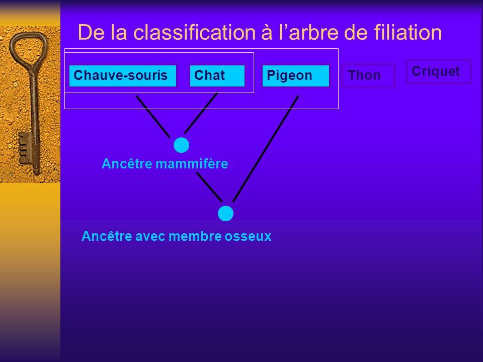 De la classification à larbre de filiation Ancêtre mammifère Chauve-sourisChatPigeonThon Criquet Ancêtre avec membre osseux