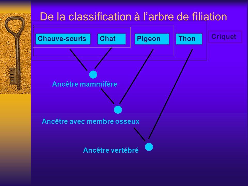De la classification à larbre de filiation Ancêtre mammifère Chauve-sourisChatPigeonThon Criquet Ancêtre avec membre osseux Ancêtre vertébré