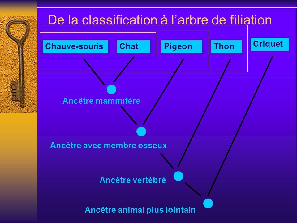 De la classification à larbre de filiation Ancêtre mammifère Chauve-sourisChatPigeonThon Criquet Ancêtre avec membre osseux Ancêtre vertébré Ancêtre a