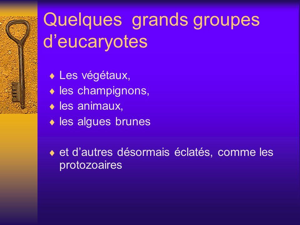 Quelques grands groupes deucaryotes Les végétaux, les champignons, les animaux, les algues brunes et dautres désormais éclatés, comme les protozoaires