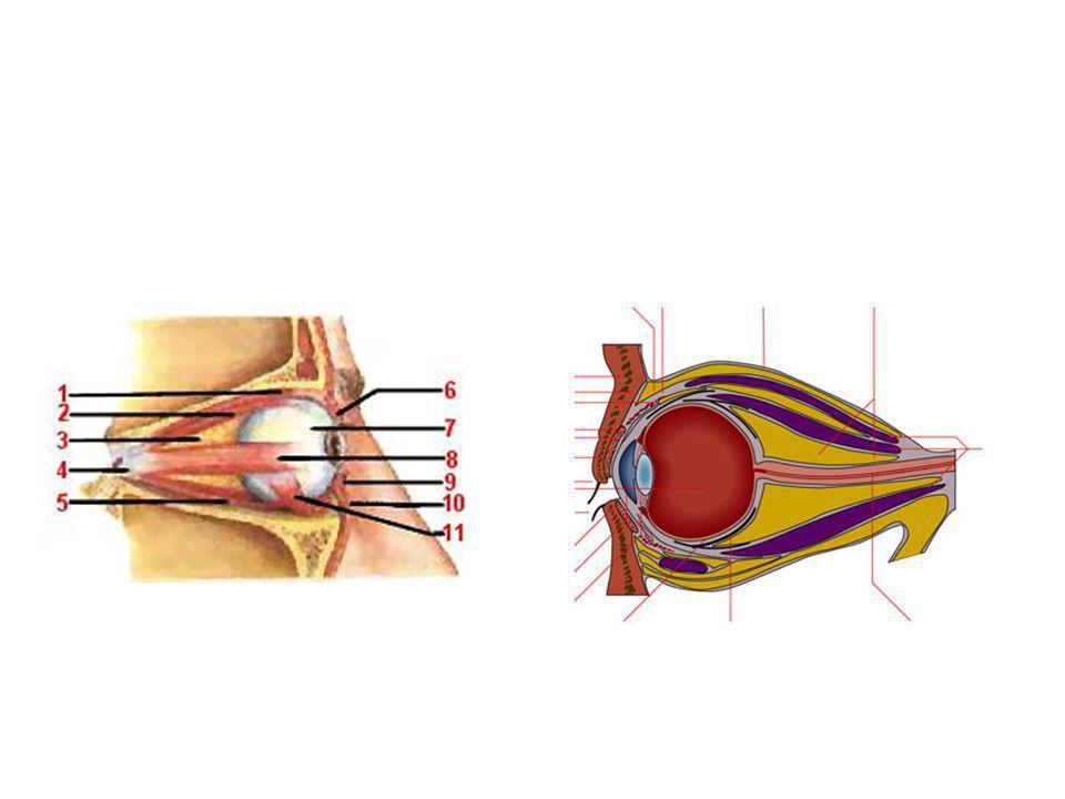 But Reconstruire une cavité anophtalme dans un état anatomique le plus proche de la normale en volume et en fonction Reconstruire une cavité anophtalme dans un état anatomique le plus proche de la normale en volume et en fonction Inclusion dun implant (bille) de diamètre le plus proche de la normale (18-25 mm) Inclusion dun implant (bille) de diamètre le plus proche de la normale (18-25 mm) Avec action des muscles oculomoteurs sur limplant Avec action des muscles oculomoteurs sur limplant Pose dune prothèse oculaire (identique à lautre œil) dans un deuxième temps Pose dune prothèse oculaire (identique à lautre œil) dans un deuxième temps