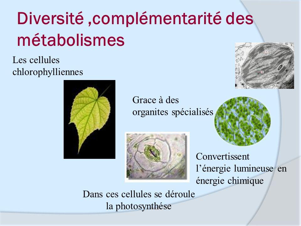 Diversité,complémentarité des métabolismes Grace à des organites spécialisés Convertissent lénergie lumineuse en énergie chimique Dans ces cellules se