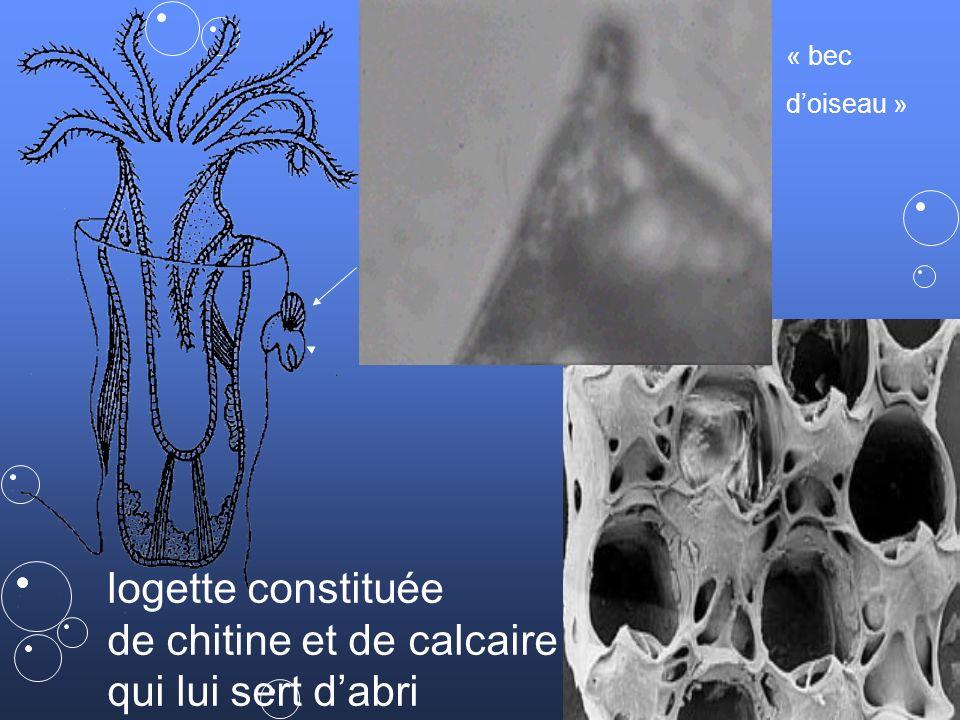 9 Bouche / estomac en U / anus animaux également appelés « ectoproctes » (anus en dehors du lophophore)Bouche / estomac en U / anus animaux également