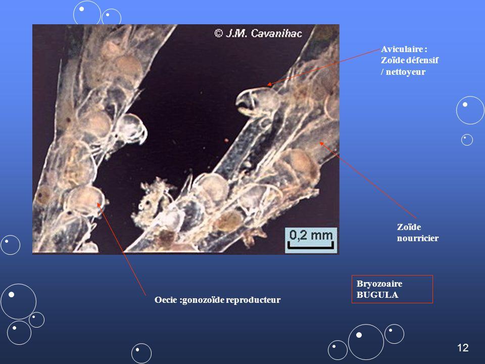 11 revue subaqua Pas dappareils ventilatoire ni circulatoire : diffusion à travers les tissus et brassage du liquide interne par les mouvements du pol