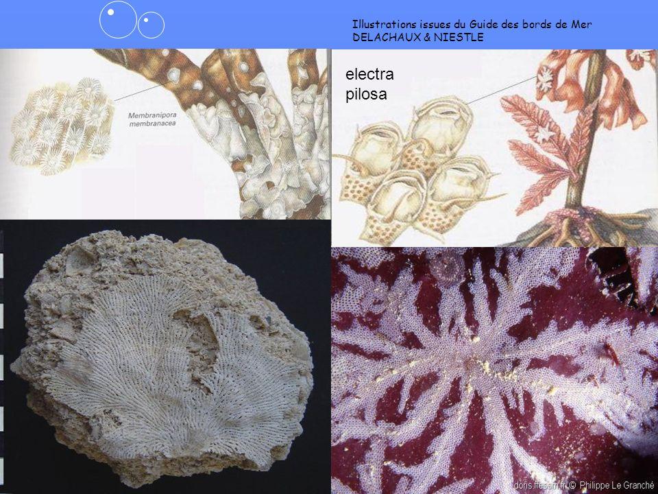 13 crisia porella CRISIA ne pas confondre avec les algues et hydraires ortie de mer!
