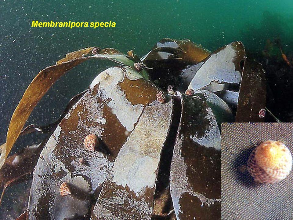 16 Membranipora: sur les laminaires. De couleur blanche, forme arrondie avec un contour linéaire ; croissance rapide; nourriture à de nombreux nudibra