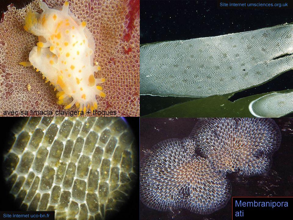 18 Les colonies de ce membranipore sont blanches, les petites logettes rectangulaires sont disposées les unes à coté des autres en quinconce. Les bord