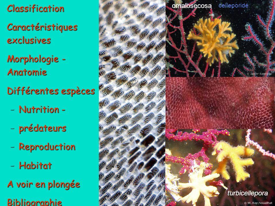 12 Oecie :gonozoïde reproducteur Zoïde nourricier Aviculaire : Zoïde défensif / nettoyeur Bryozoaire BUGULA